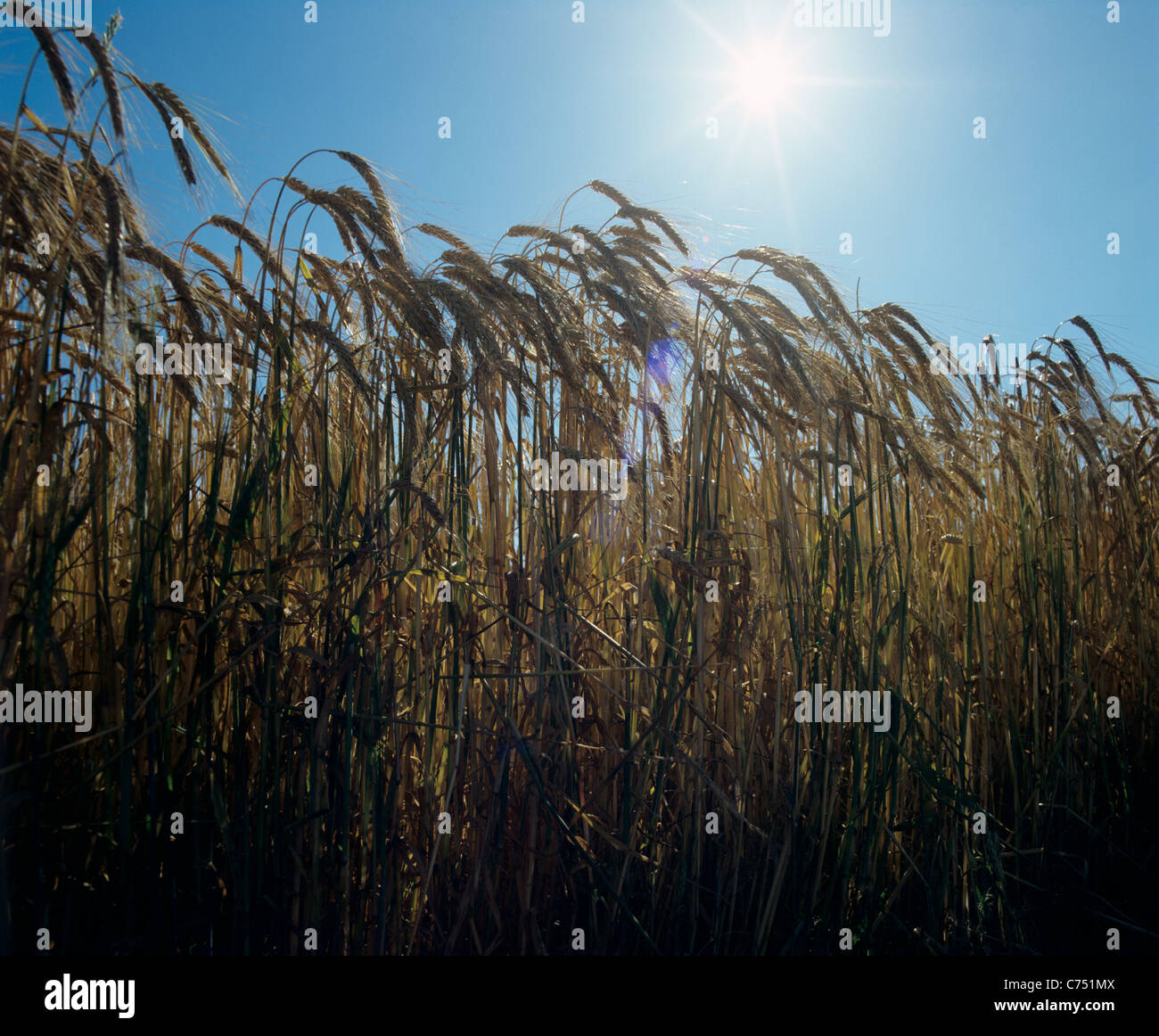 Ripe barley ears in silouette against late afternoon sunshine and blue sky - Stock Image