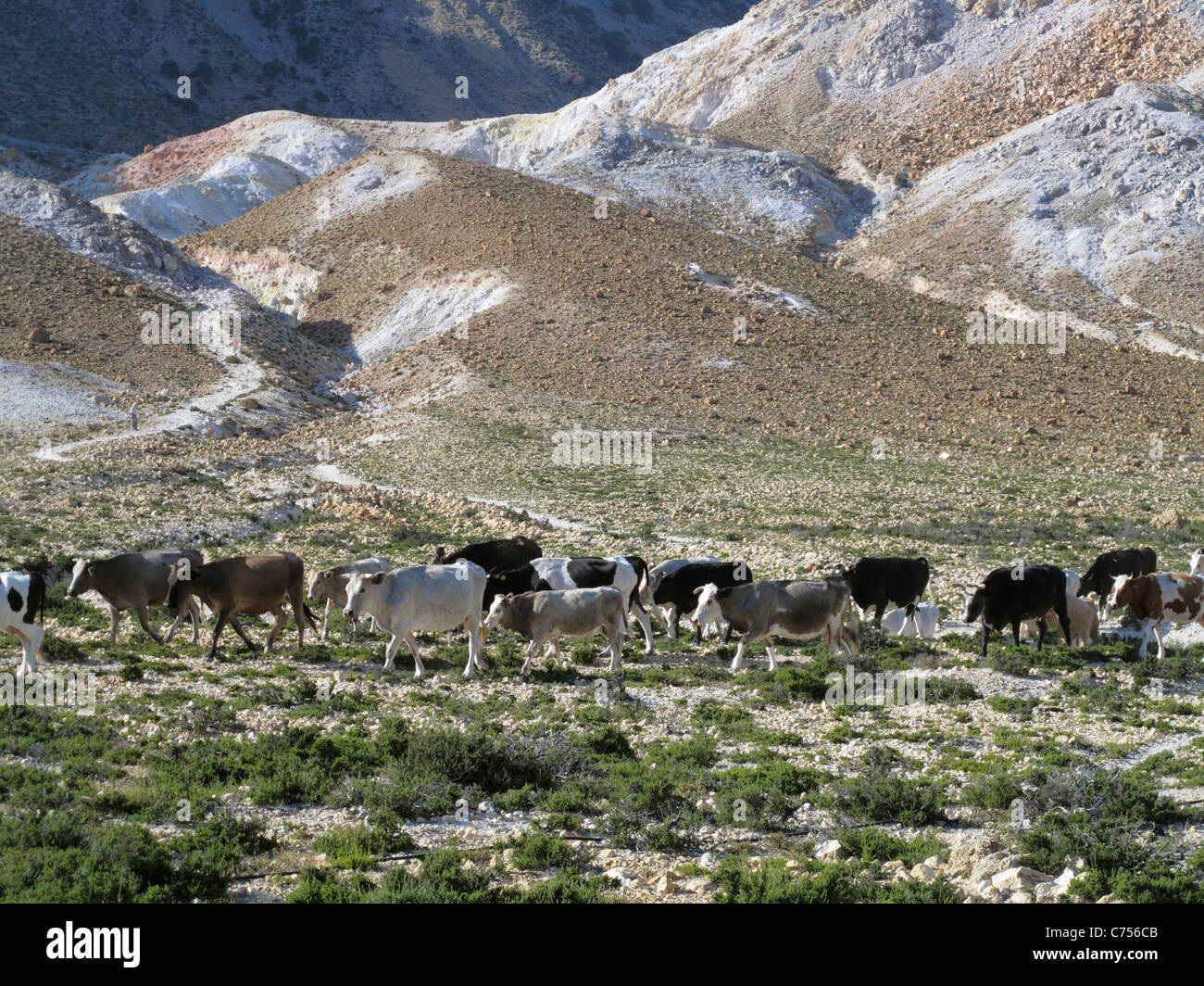 Dairy cows in the crater of the volcano Stephanos on Nisyros in the Aegean Greek Islands - Stock Image