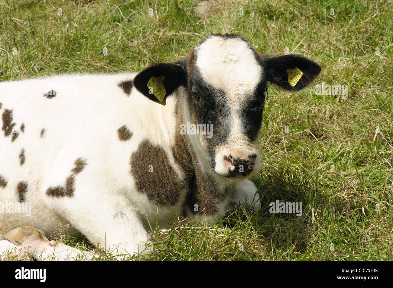 Holstein x Belgian Blue suckler calf on pasture, Devon, June - Stock Image