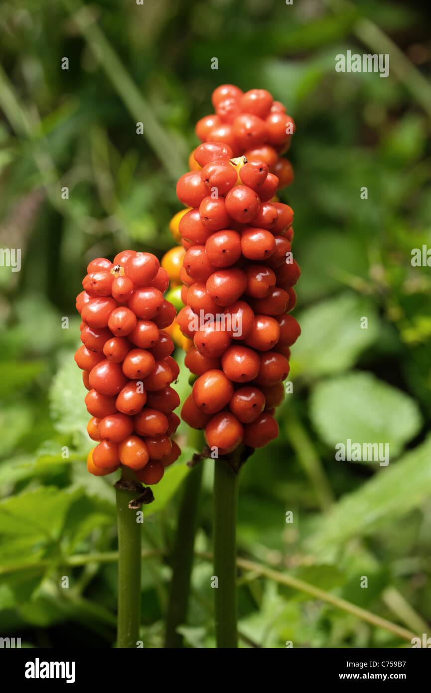 Lords & ladies, wild arum (Arum maculatum) orange fruit in autumn - Stock Image