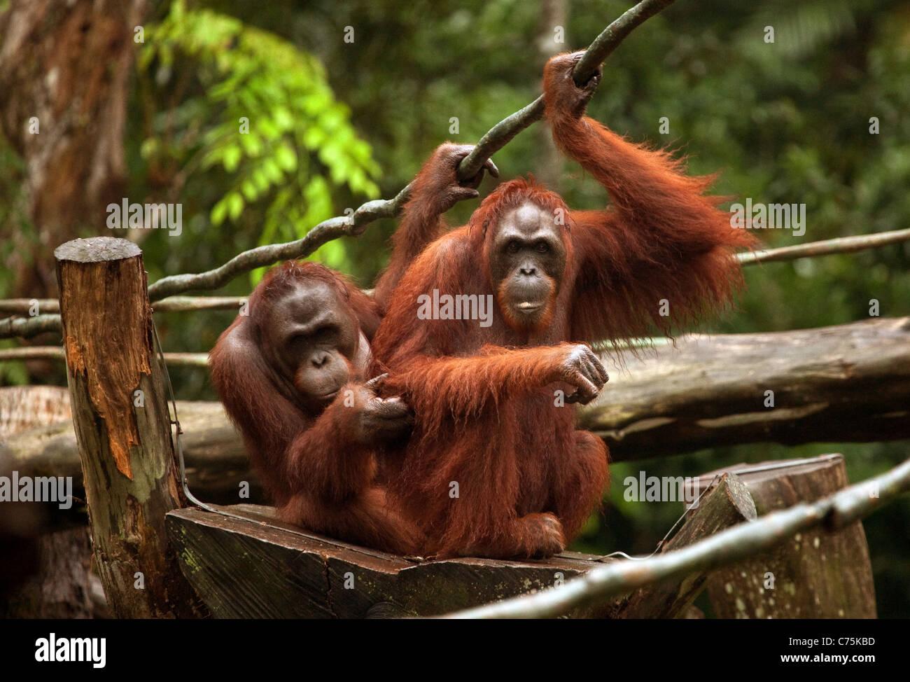 Two adult Bornean Orangutans (Pongo pygmaeus) at Singapore zoo, Singapore asia - Stock Image