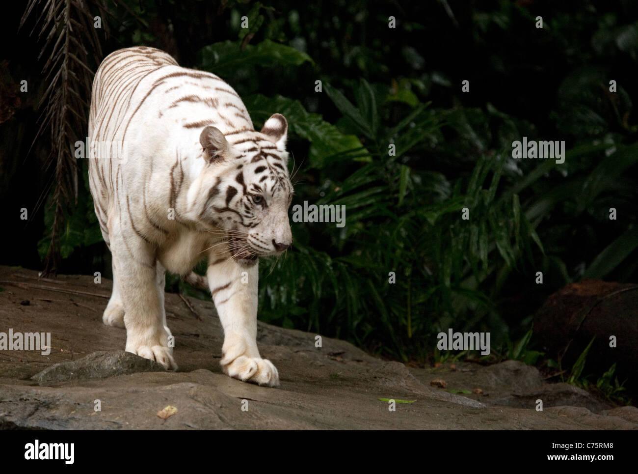 A white tiger walking (Panthera Tigris) in Singapore Zoo, Singapore, Asia - Stock Image