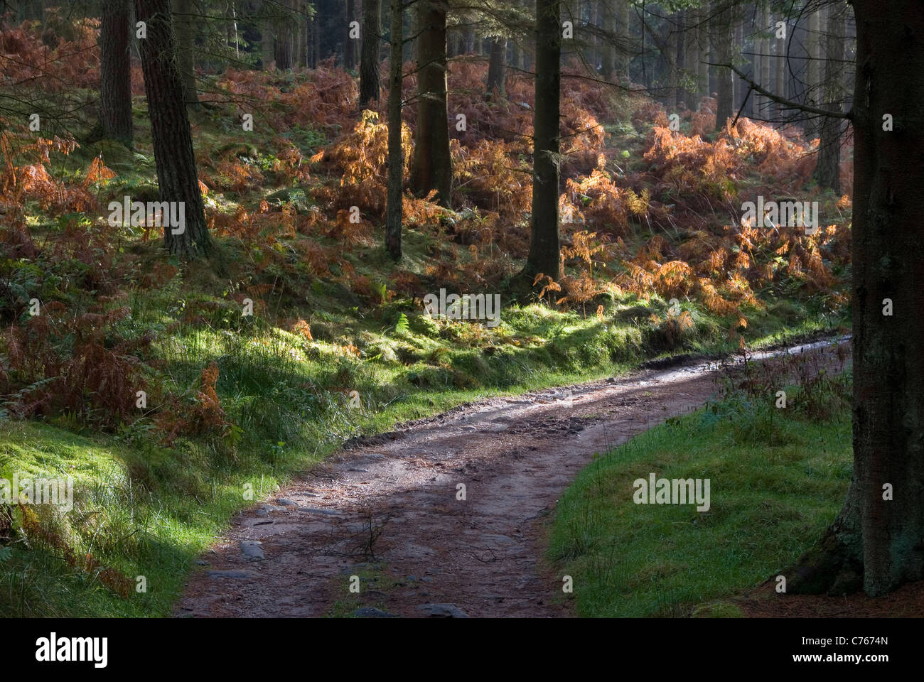 Shafts of light in an autumnal coniferous plantation, Wharfedale, Yorkshire, UK Stock Photo