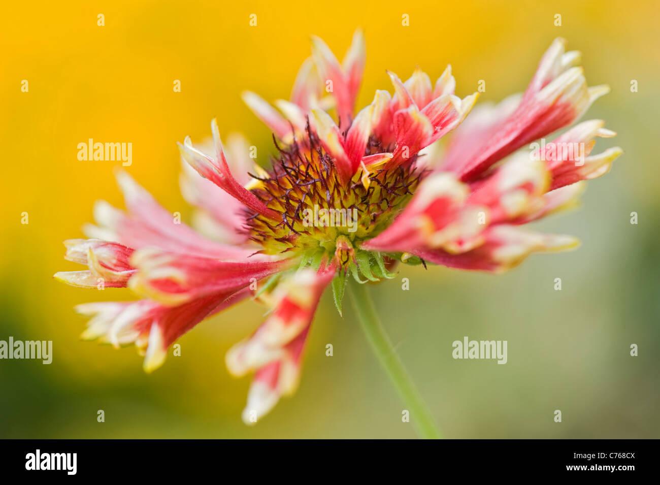Single Gaillardia 'Pantomime' Blanket flower flowers - Stock Image
