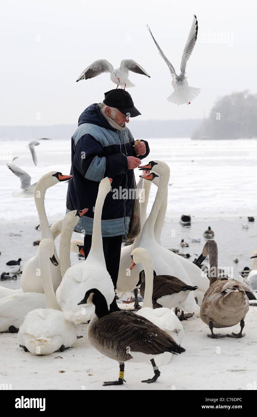 Man feeding birds at the Tegeler See, Berlin, Germany - Stock Image