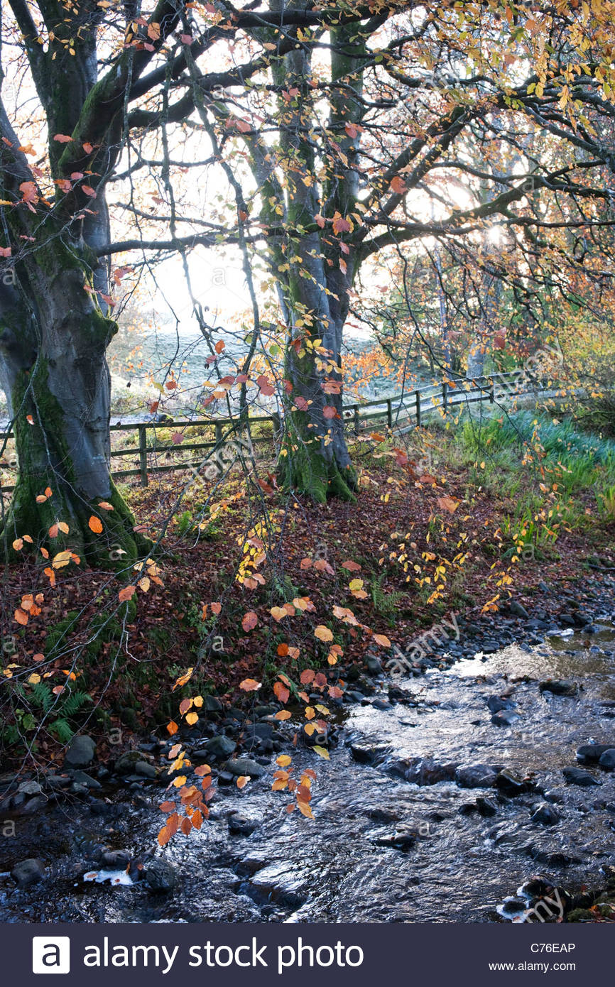 Fagus sylvatica f. purpurea (Copper or purple beech) with autumn foliage growing over small stream - Stock Image