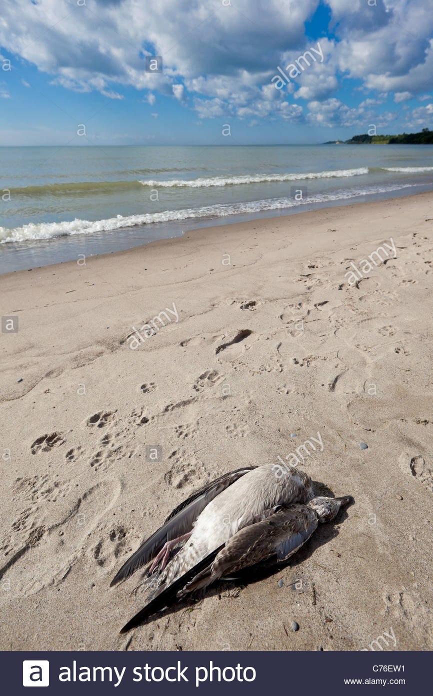 Dead gull on beach on Lake Ontario at Rotary Frenchman's Bay West Park at Pickering Ontario Canada - Stock Image