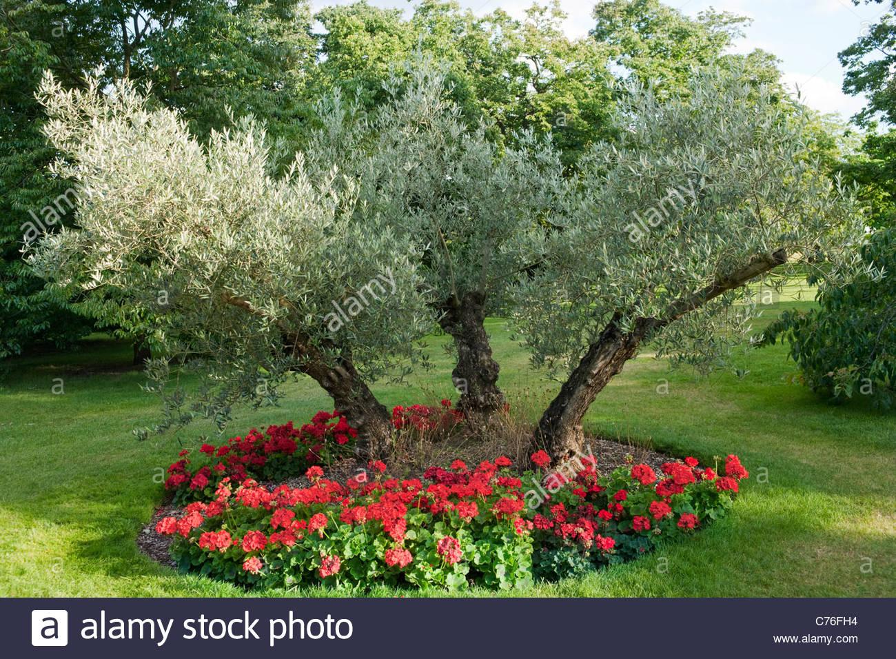 olea europaea olive tree and pelargonium sp stock photo 38867280 alamy. Black Bedroom Furniture Sets. Home Design Ideas