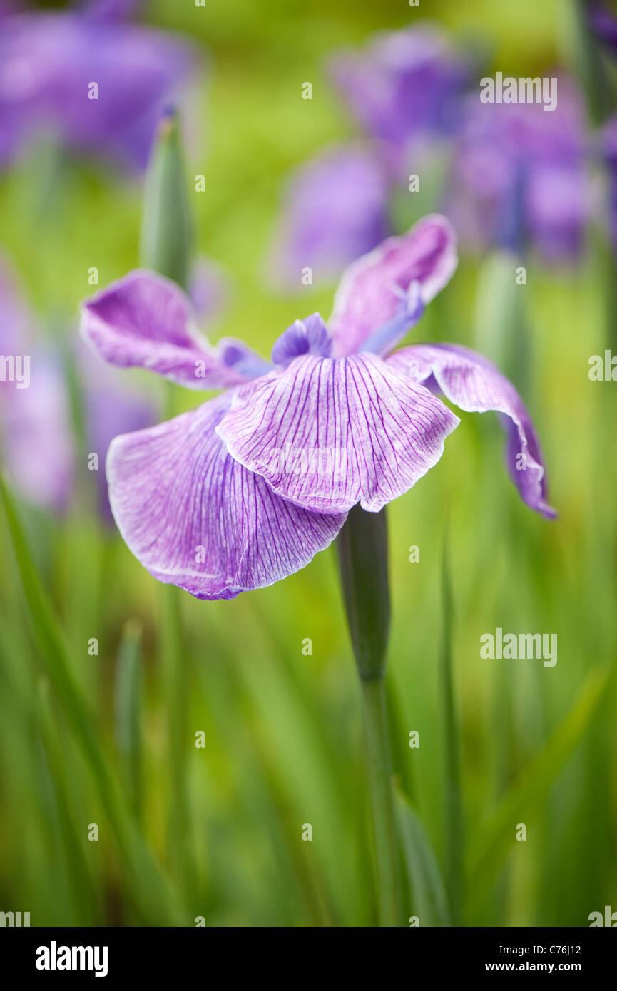 Iris ensata, Japanese Water Iris, in flower - Stock Image