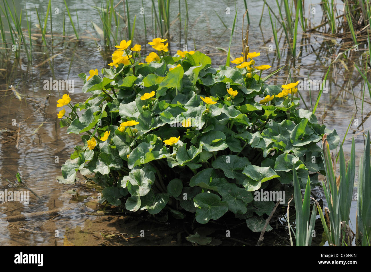 Marsh marigold or King cup (Caltha palustris) clump flowering in a freshwater stream, spring, Wiltshire, UK, April. Stock Photo
