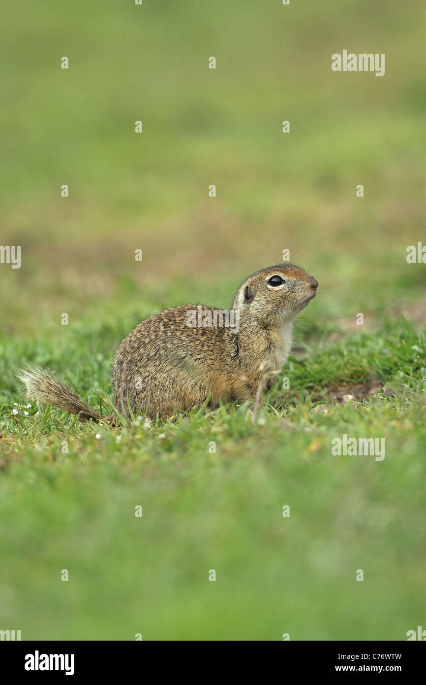 European Souslik or Ground Squirrel (Spermophilus citellus) Stock Photo
