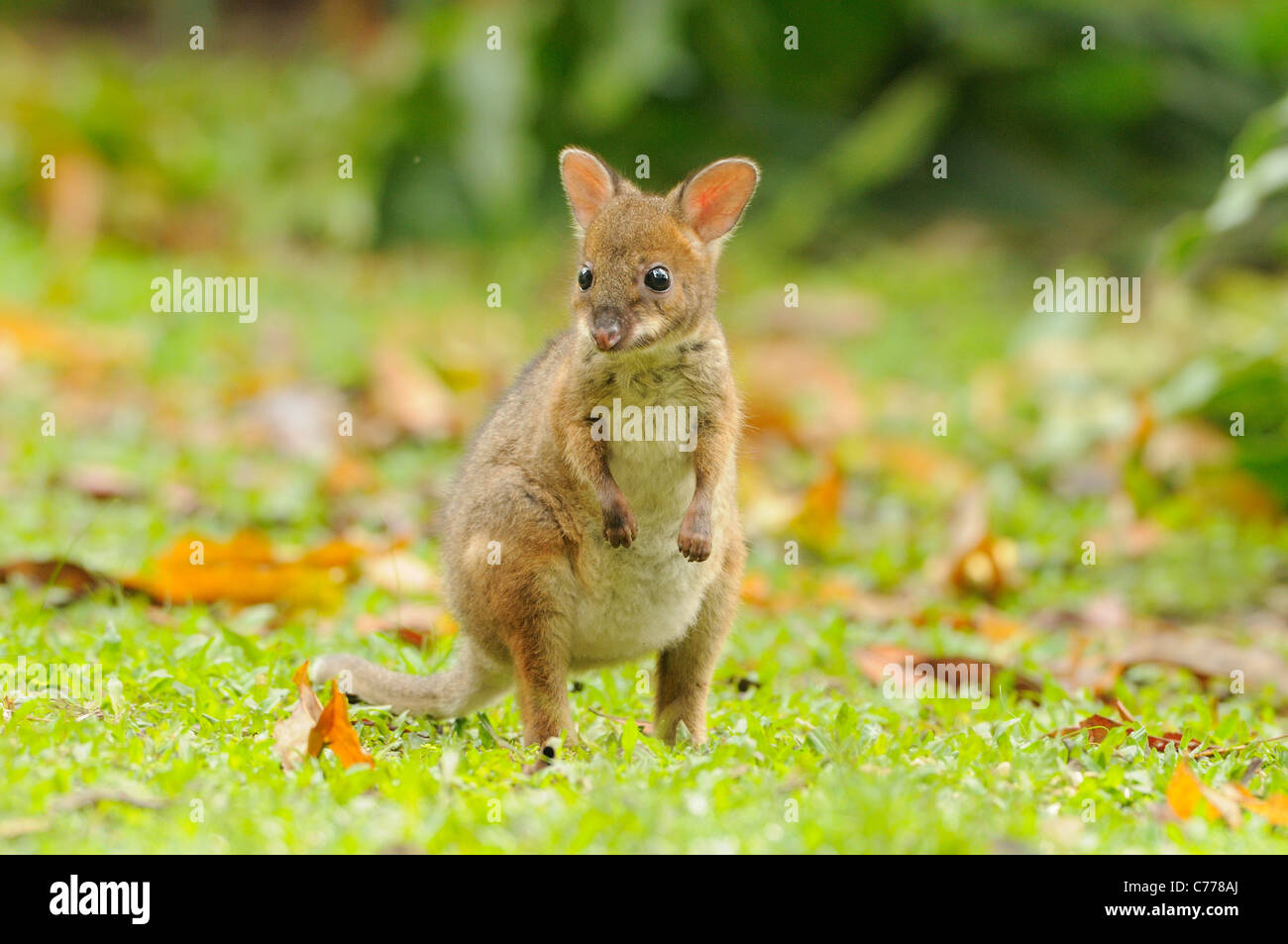 Red-legged Pademelon Thylogale stigmatica Young joey Photographed in Queensland, Australia - Stock Image