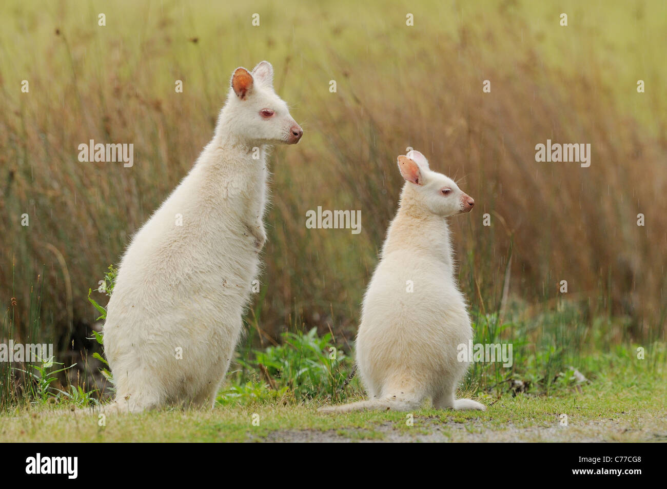Bennett's Wallaby Macropus rufogriseus Mother and joey White, albino form Photographed on Bruny Island, Tasmania, Stock Photo