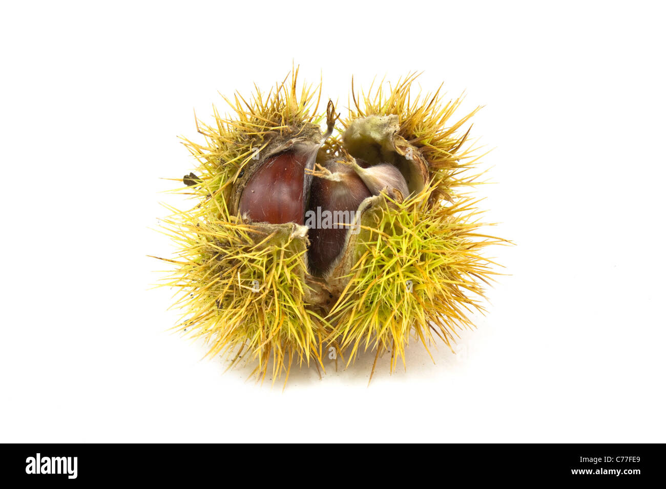 close up shot of a chestnut in its case - Stock Image