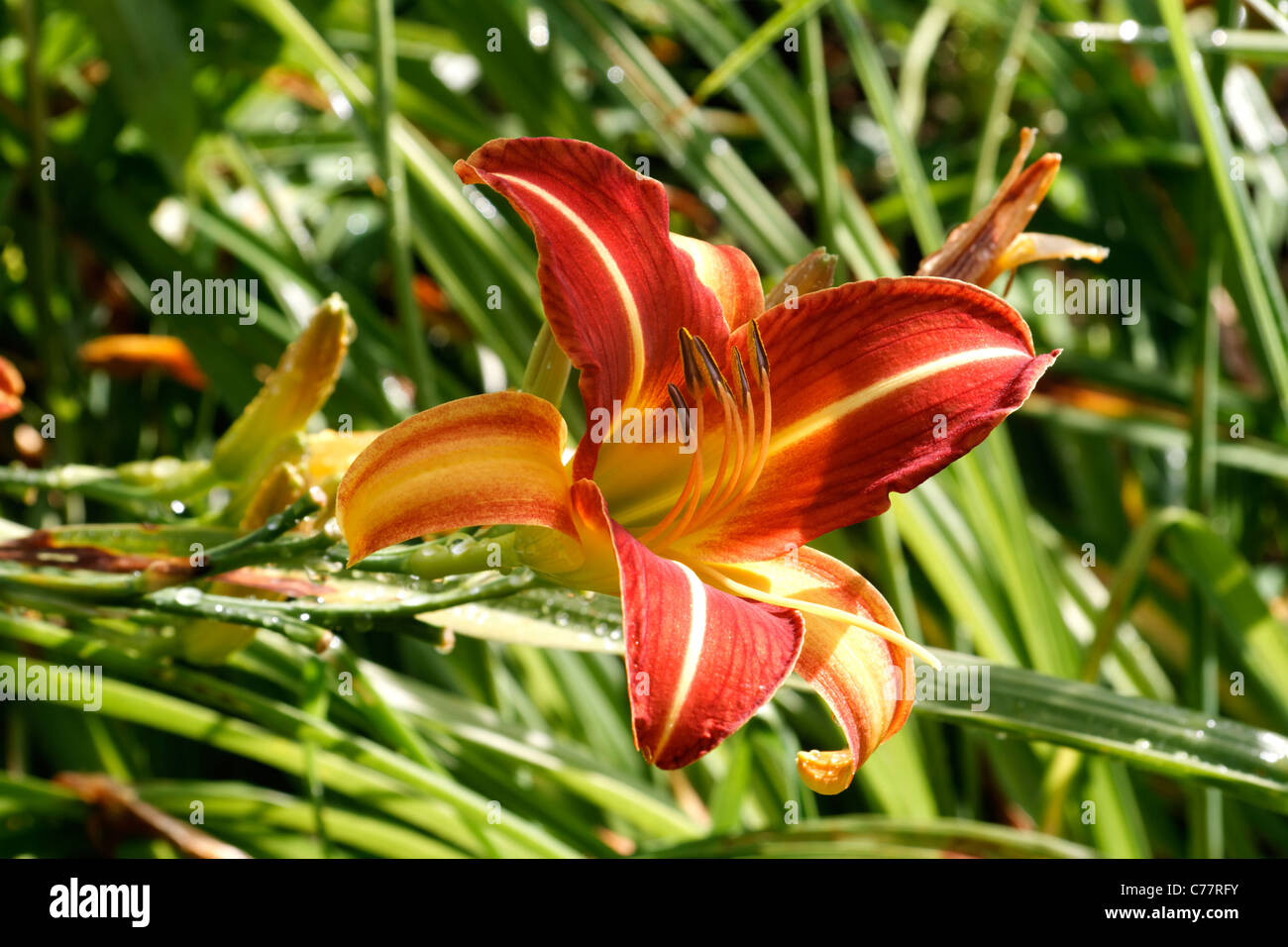 Day lily flower yellow and red flower perennial plant stock photo day lily flower yellow and red flower perennial plant hemerocallis izmirmasajfo