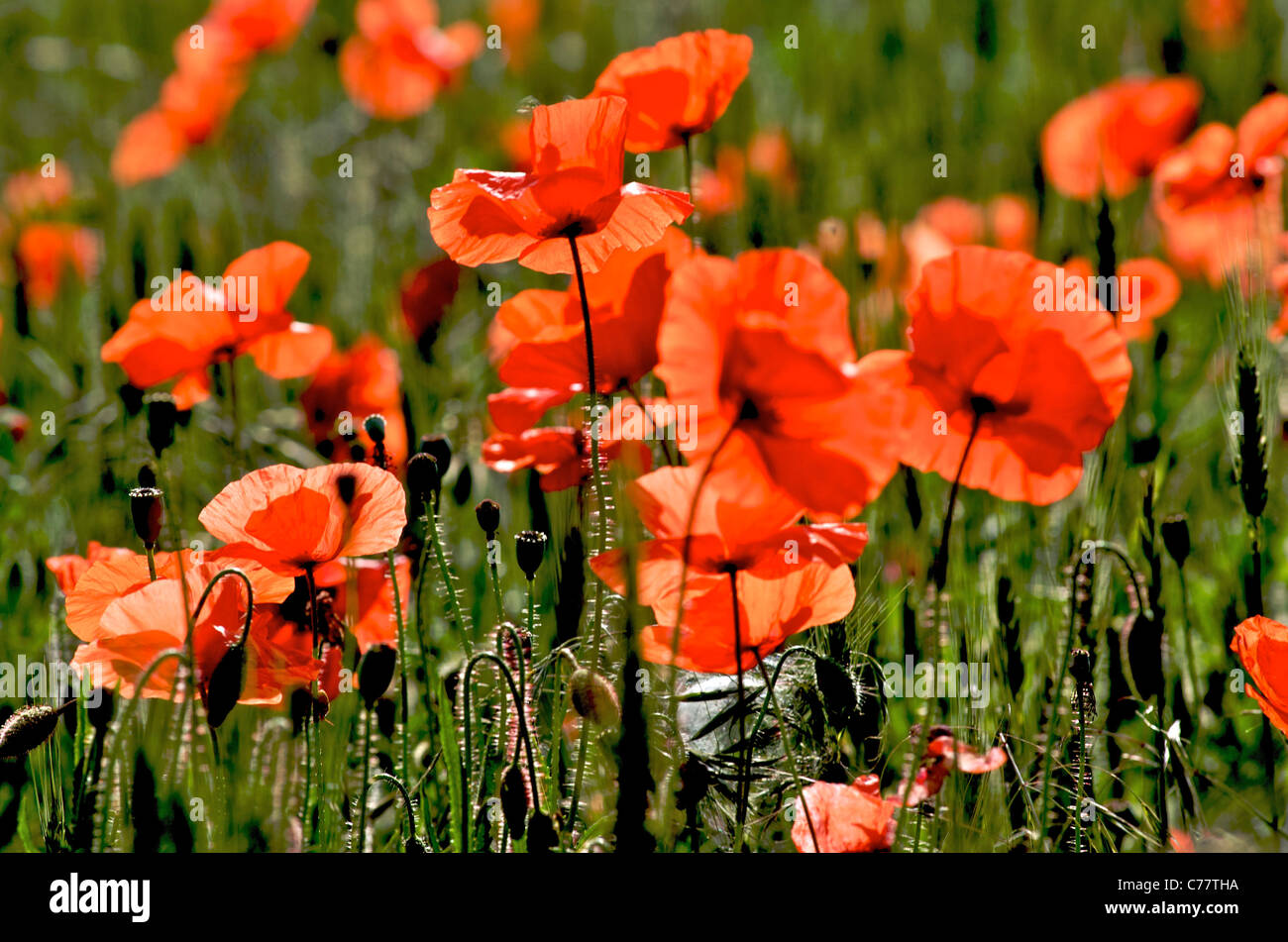 Poppy field - field of poppies in France - Stock Image