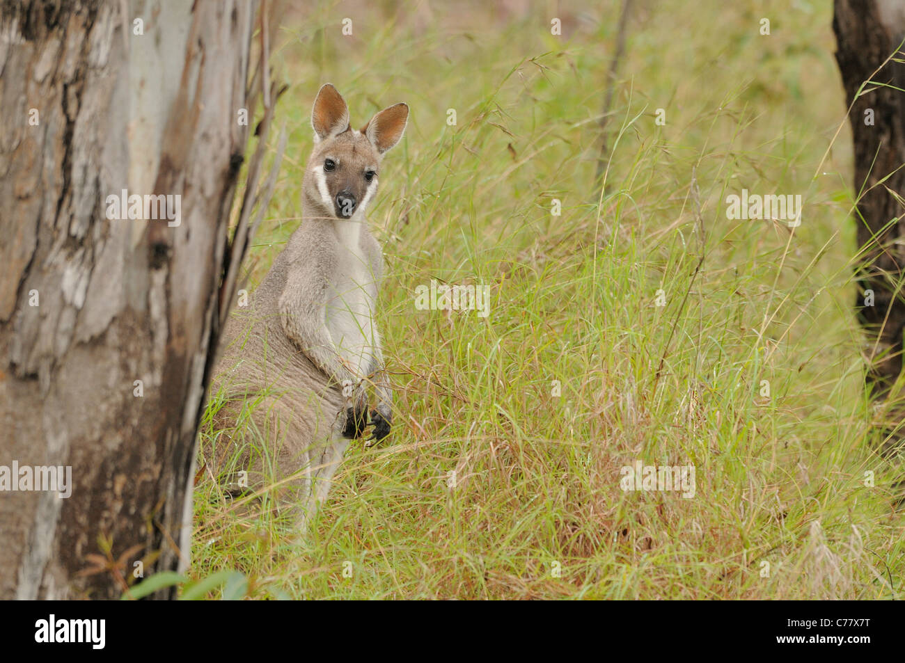 Whiptail Wallaby OR Pretty-faced Wallaby Macropus parryi Photographed in Queensland, Australia - Stock Image