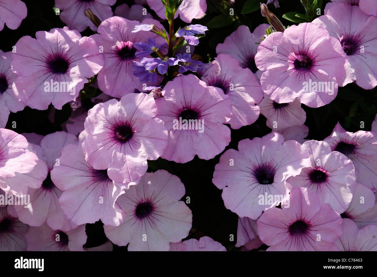 Surfinia Petunia Stock Photos Amp Surfinia Petunia Stock