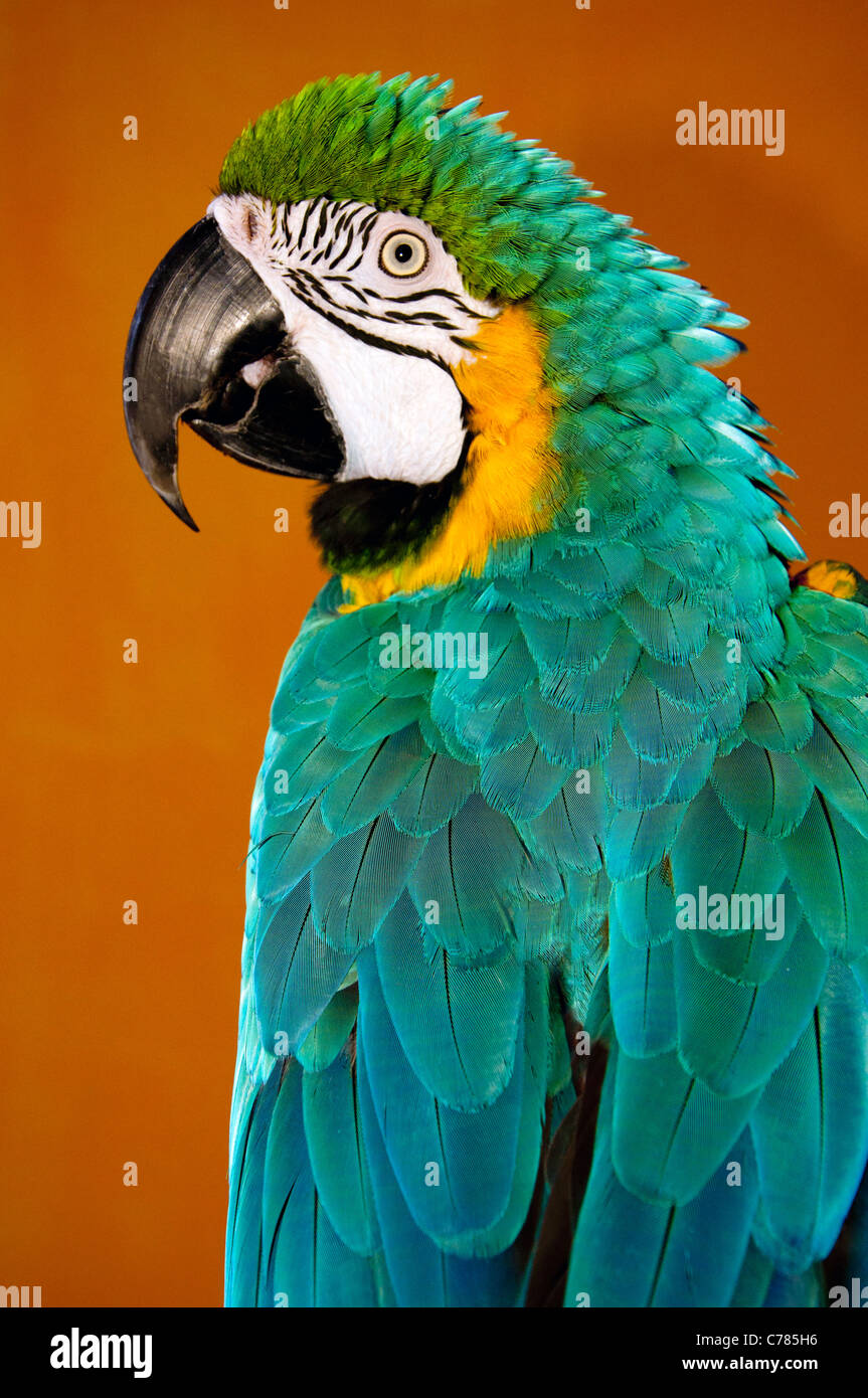 alert parrot with large beak and colorful feathers plumage - Stock Image