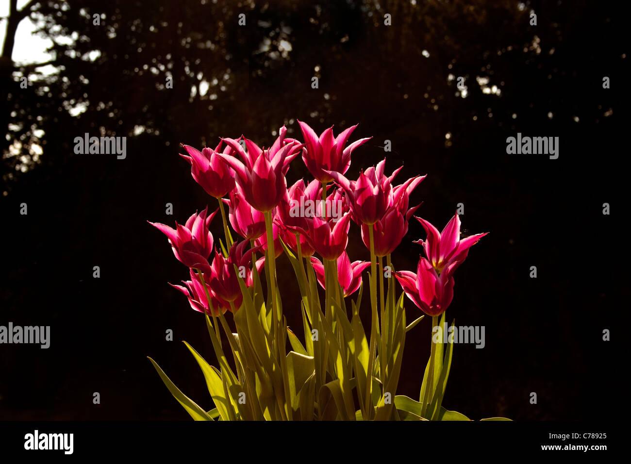 Tulip pink magenta dark back sun behind lit head flower bunch group stems leaves leaf vibrant vivid - Stock Image