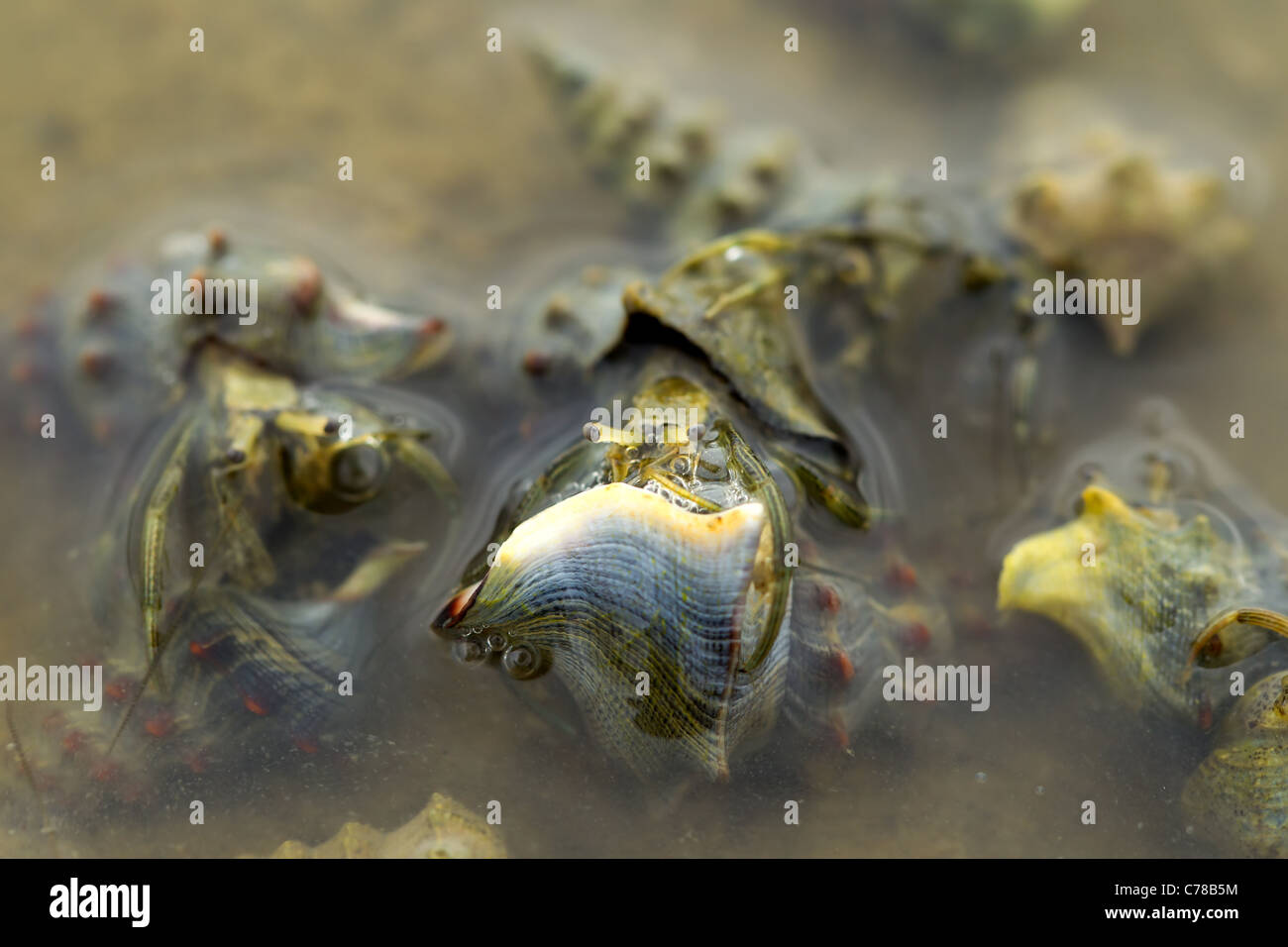HERMIT CRABS MATING IN SHALLOW WARM WATERS OF PACIFIC COAST - Stock Image