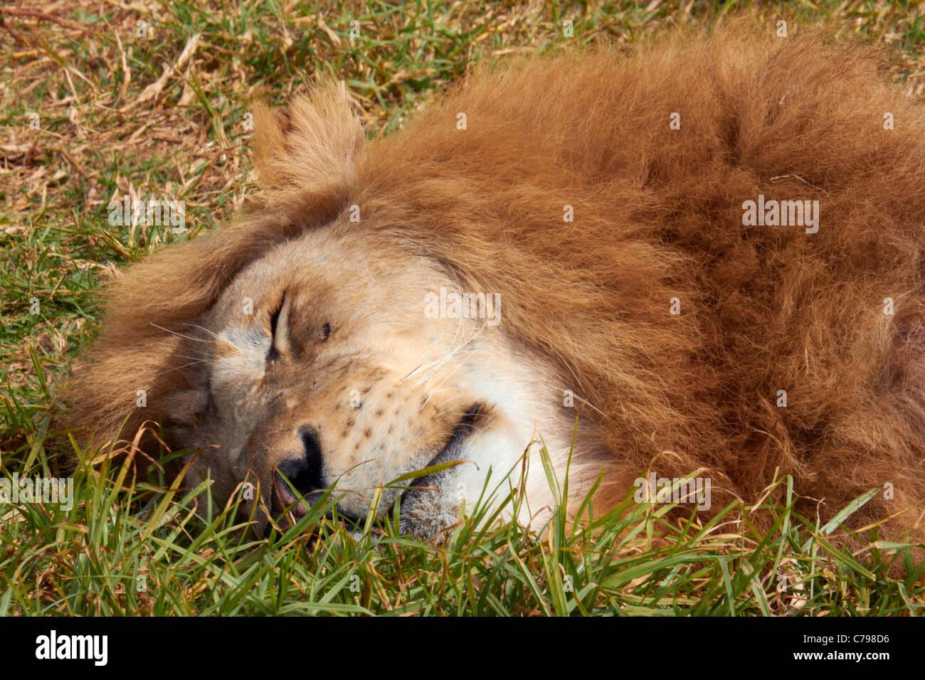 Sleeping lion in Natal Lion Park, near Pietermaritzburg, KwaZulu-Natal, South Africa. - Stock Image