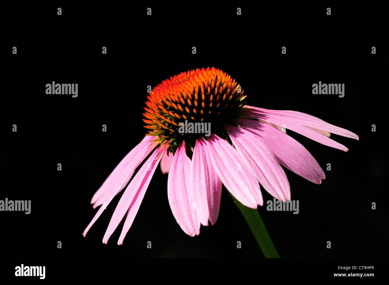 Lone Purple Cone Flower highlighted against shadows. (Echinacea purpurea) - Stock Image