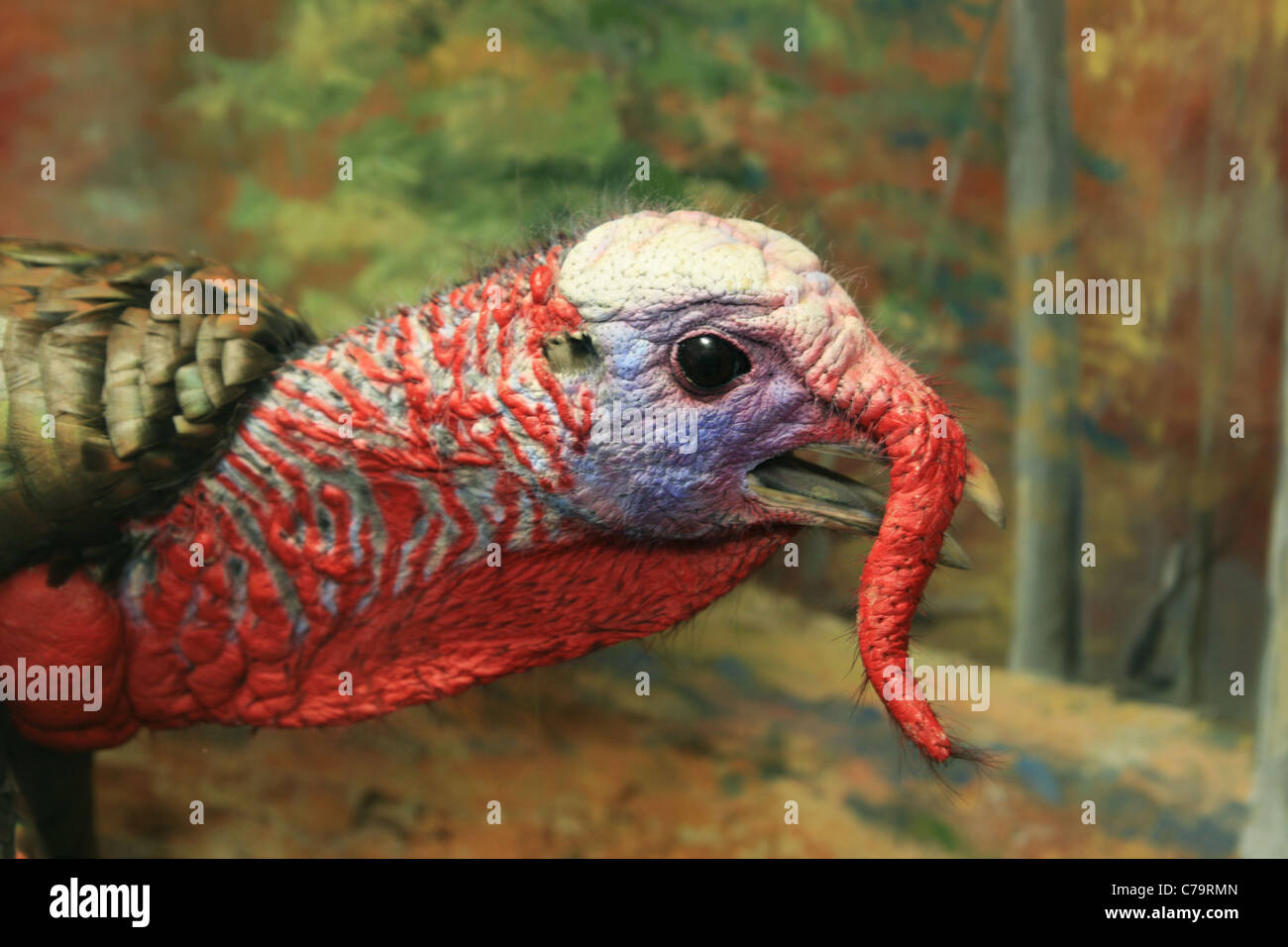 male tom turkey (Meleagris gallopavo) head showing coloration and snood Stock Photo