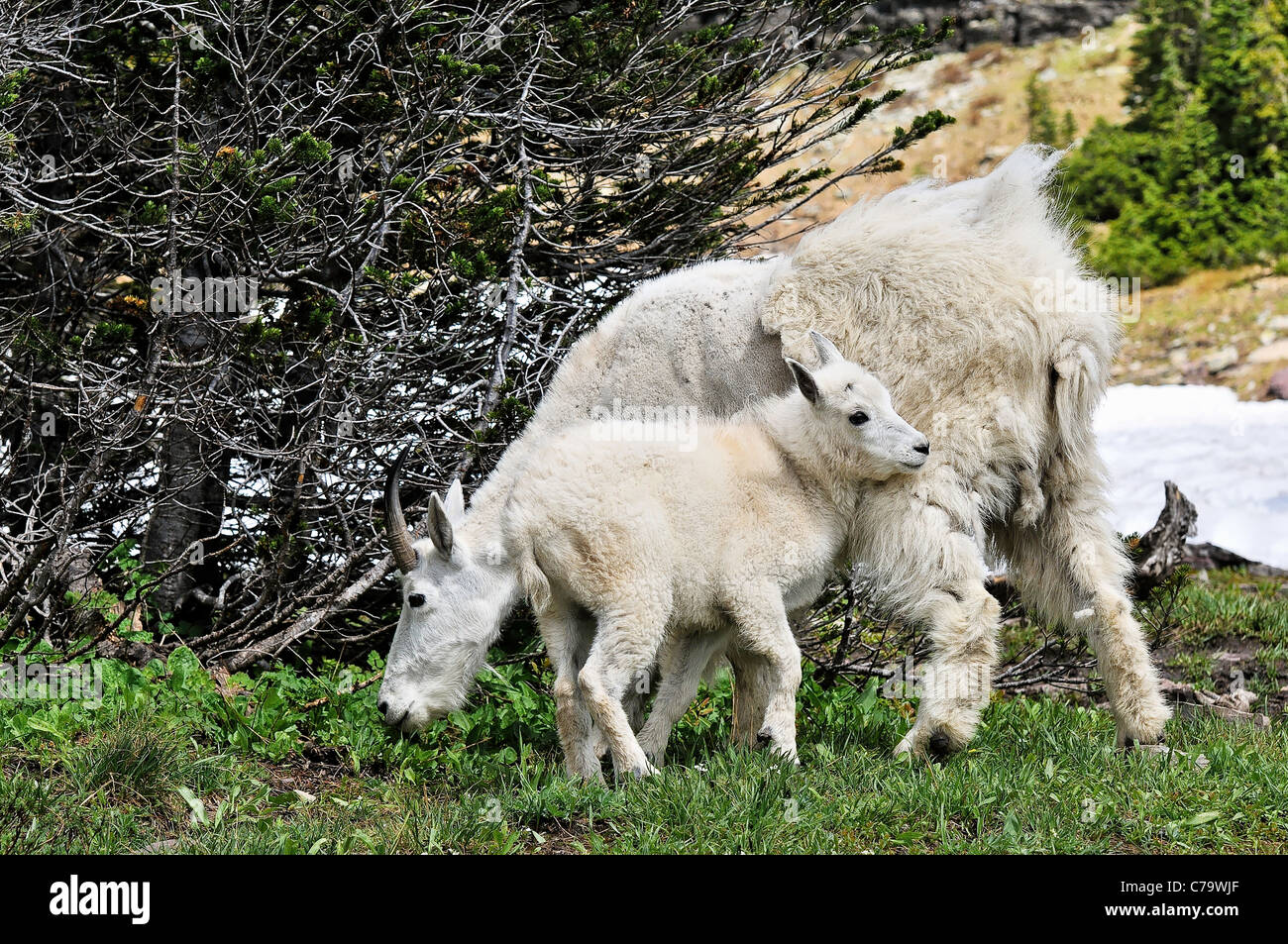 Mountain goat and kid, Glacier National Park, Montana. USA - Stock Image