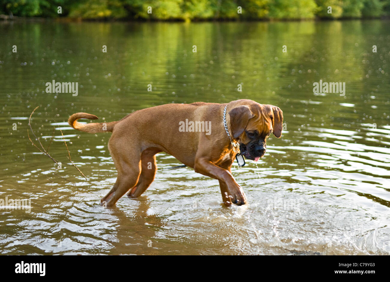 Boxer Mixed Breed Dog Playing in Pond in Floyd County, Indiana - Stock Image