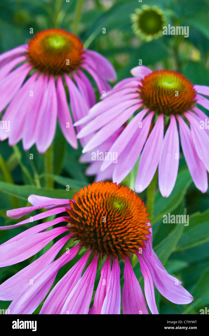 Painting Effect of Purple Coneflower Blossoms - Stock Image