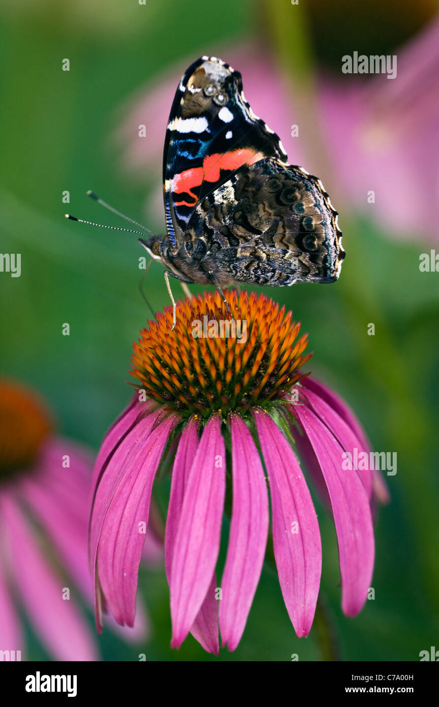 Red Admiral Butterfly on Purple Coneflower in Floyd County, Indiana - Stock Image