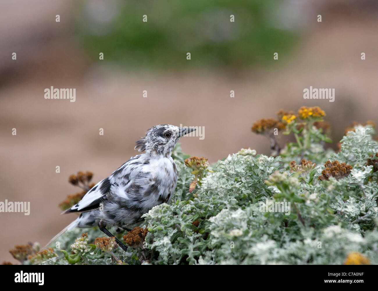 Leucistic Brewer's Blackbird - Stock Image
