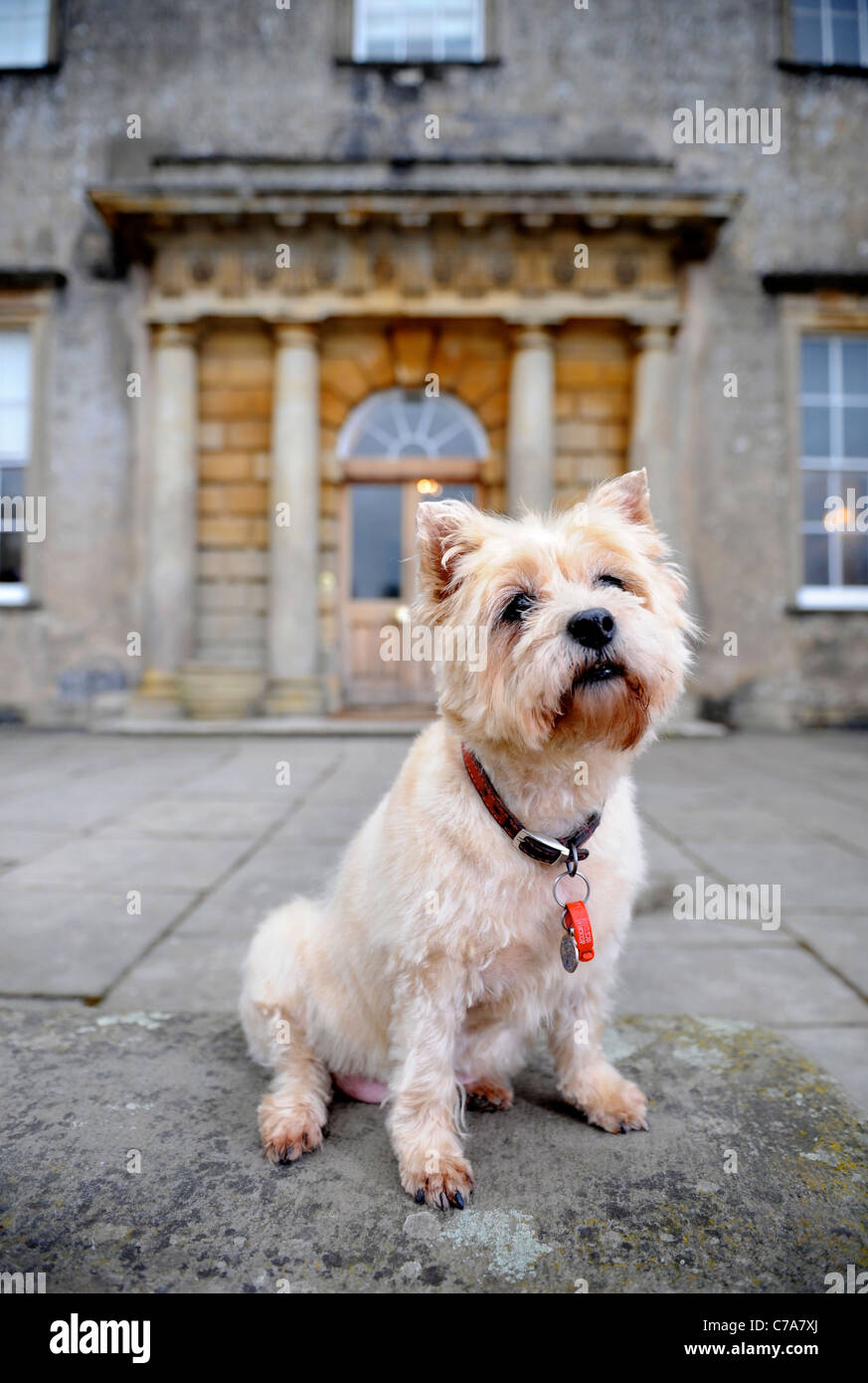 A Cairn Terrier dog residing at a hotel which welcomes pet dogs UK - Stock Image