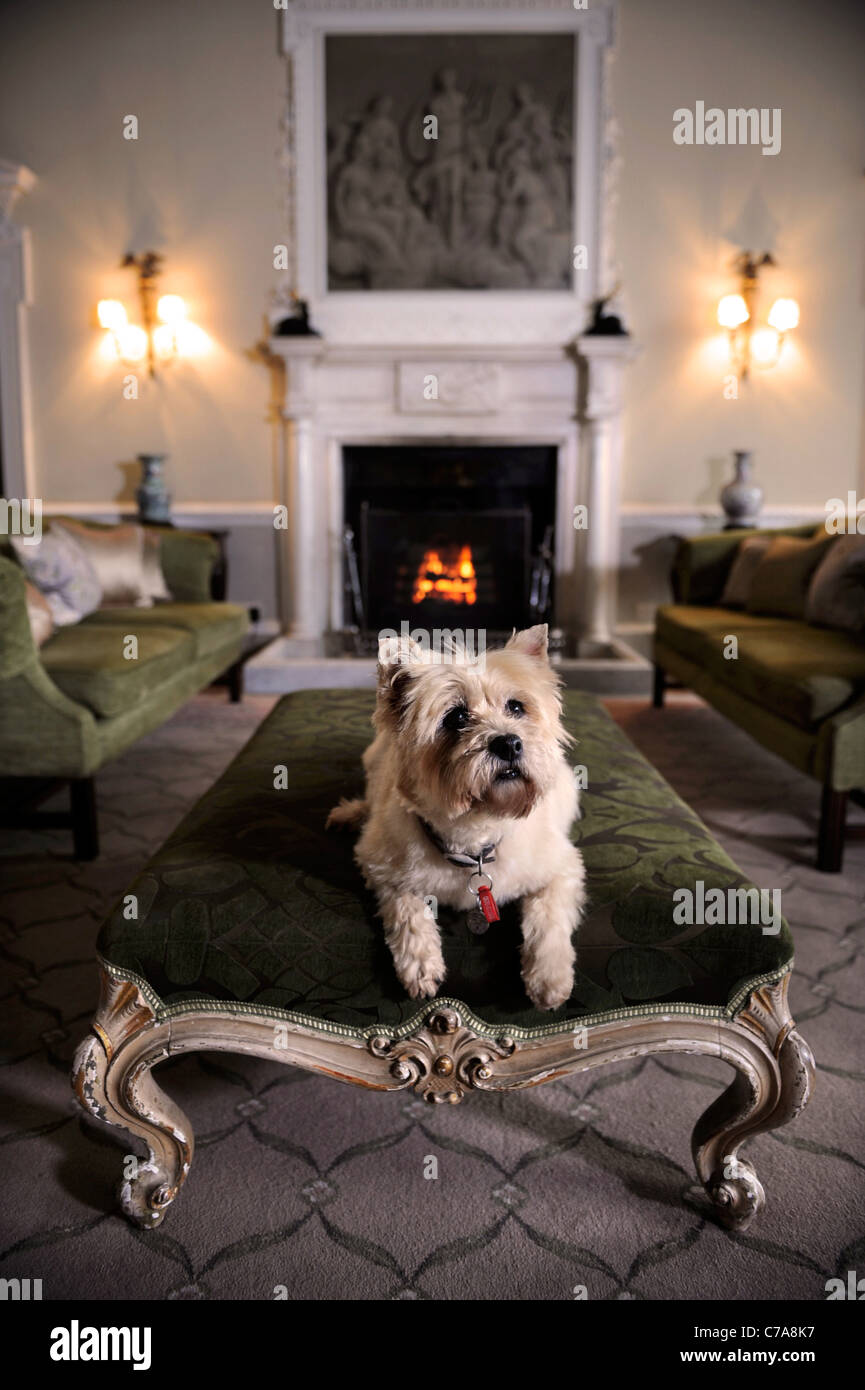 A Cairn Terrier dog residing in a hotel which welcomes pet dogs UK - Stock Image