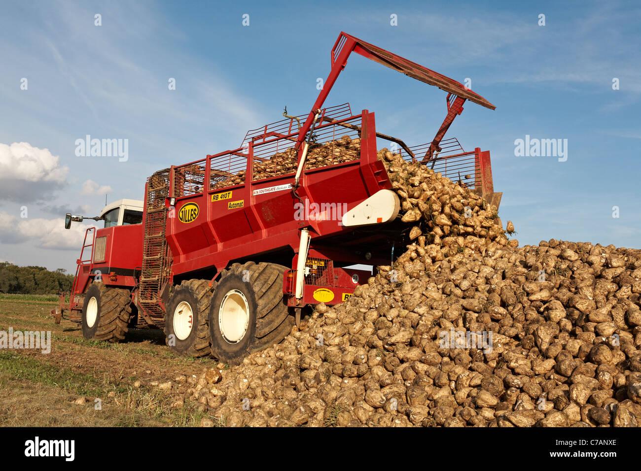 Sugar Beet Beta Vulgaris Crop Harvesting North Essex England - Stock Image