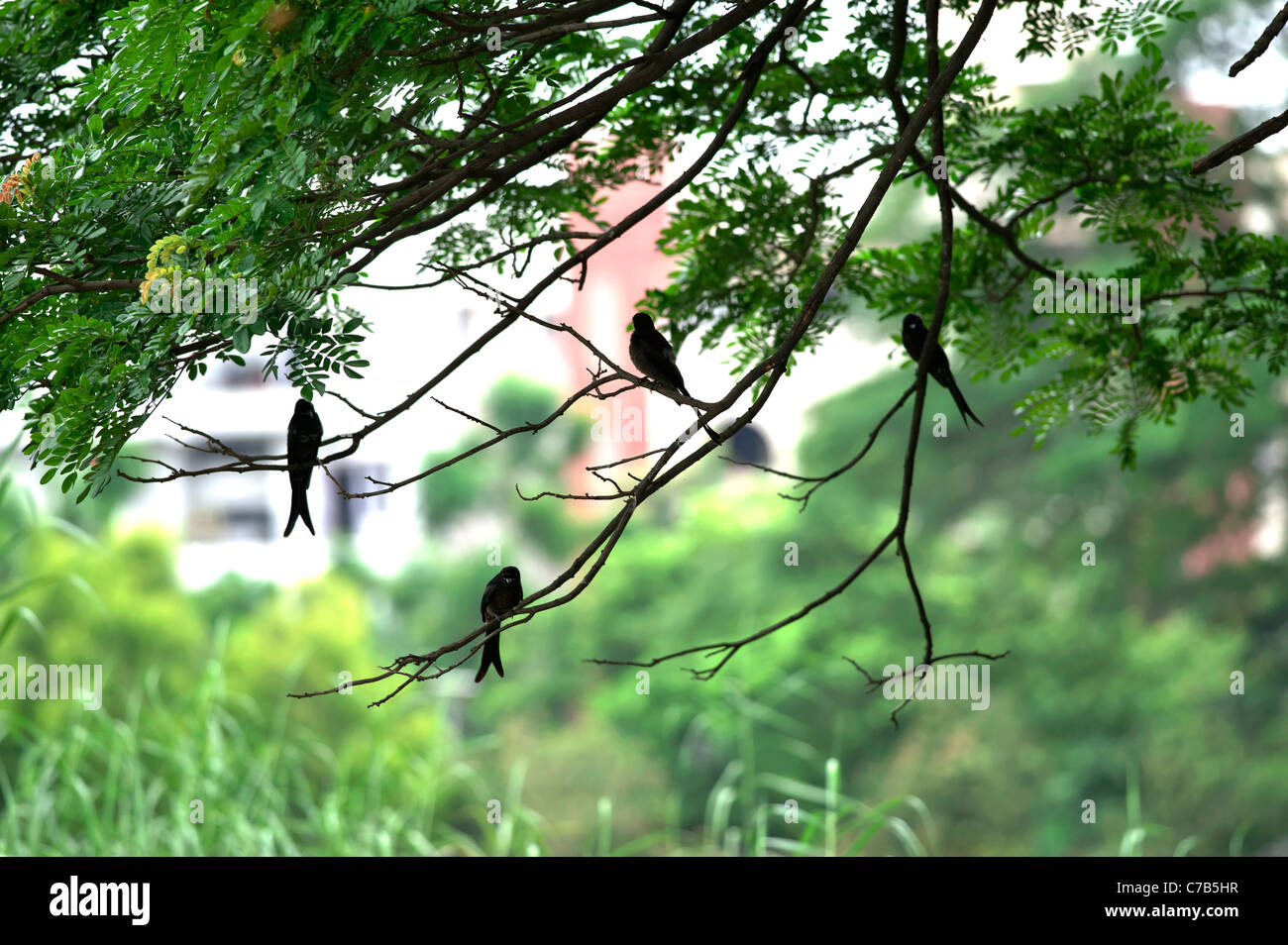Urban wild life Drongo- Cuckoo-at Salt Lake Park-Kolkata-India. - Stock Image