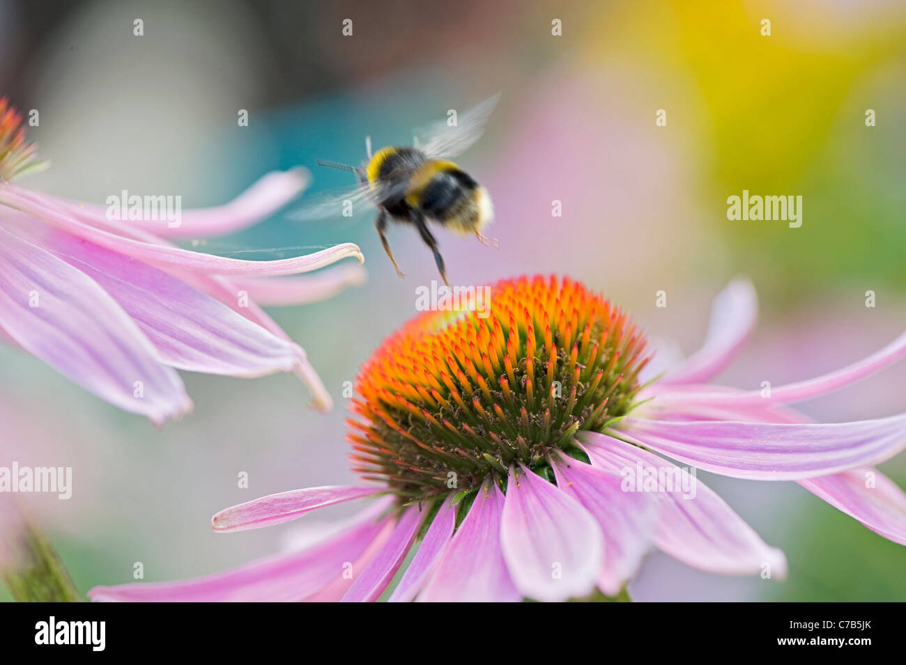 Echinacea purpurea Eastern purple cone flowers or Purple coneflower with a bumble bee collecting pollen Stock Photo