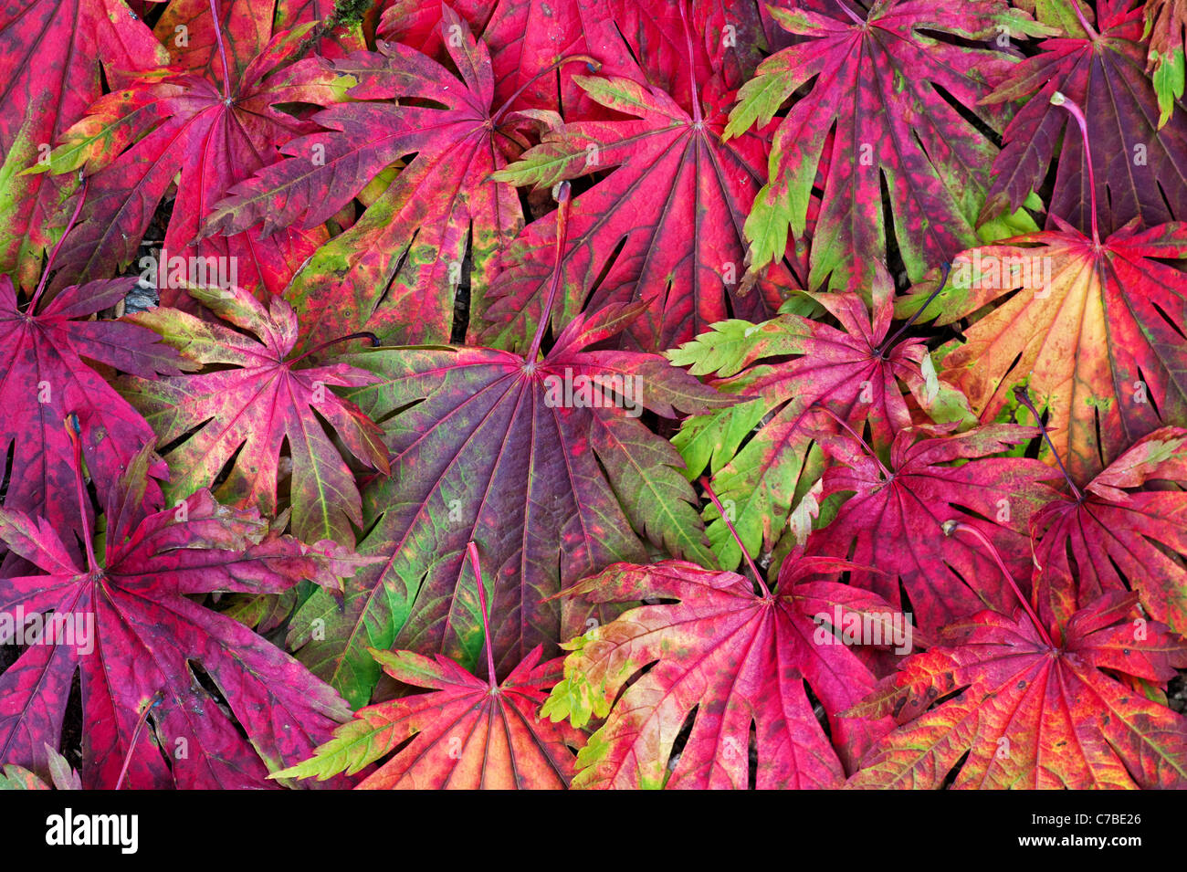 Acer Japonicum Attaryi leaves. Japanese Maple leaves changing colour in autumn. Red Acer leaf pattern Stock Photo
