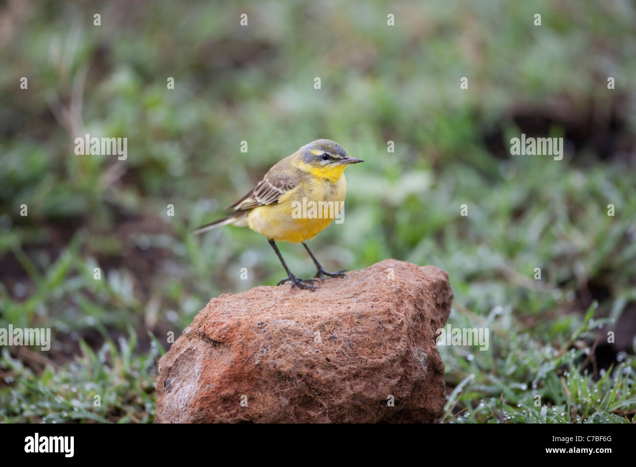 Yellow Wagtail Motacilla flava perched on an brick colored coloured stone in the Ngorongoro crater in Africa - Stock Image