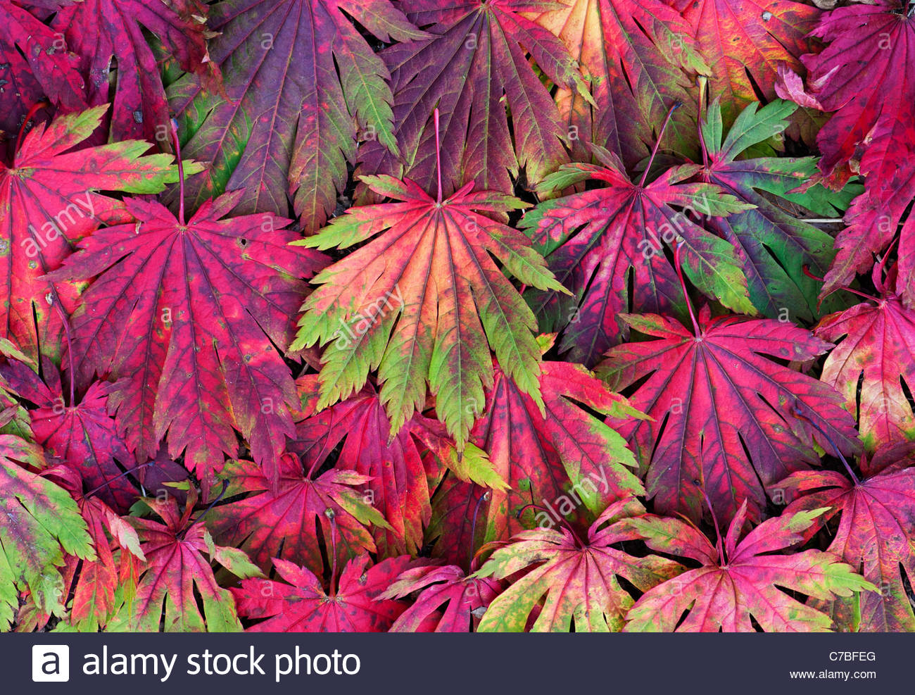 Acer Japonicum Attaryi leaves. Japanese Maple leaves changing colour in autumn. Red Acer leaf pattern - Stock Image