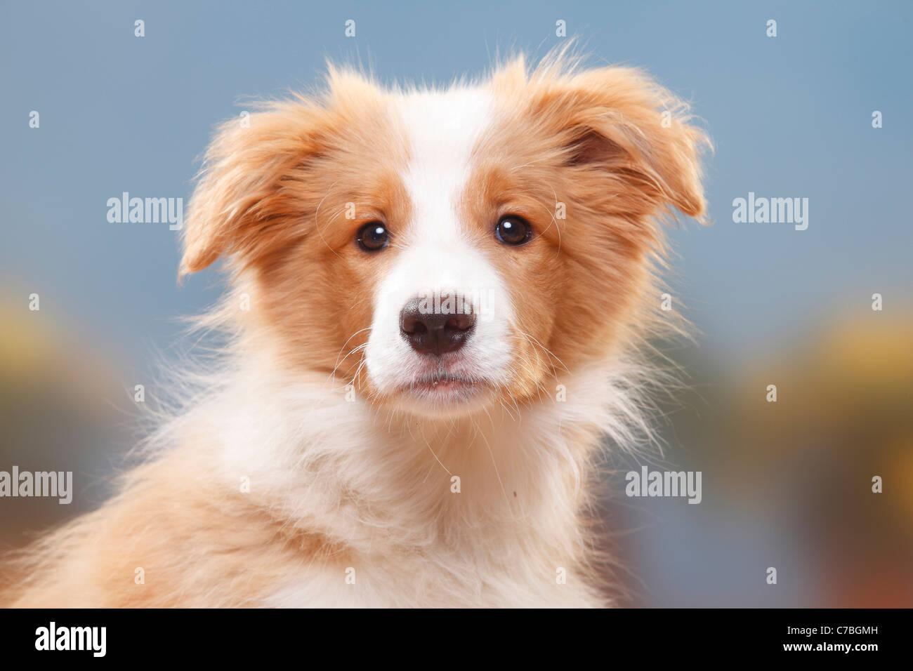 Border Collie Puppy 14 Weeks Australian Red White Stock Photo Alamy
