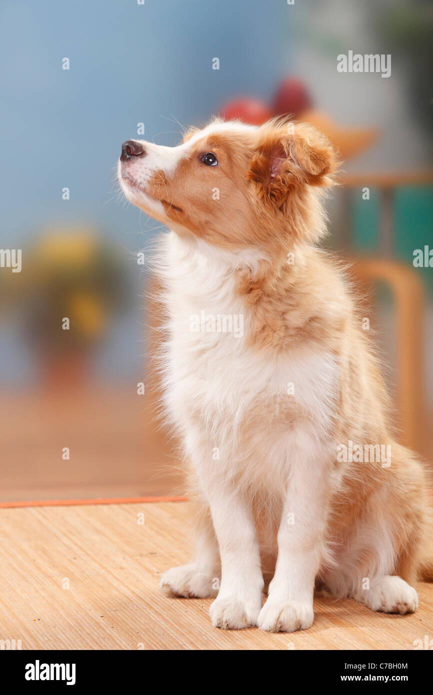 Border Collie Puppy 14 Weeks Australian Red White Stock Photo