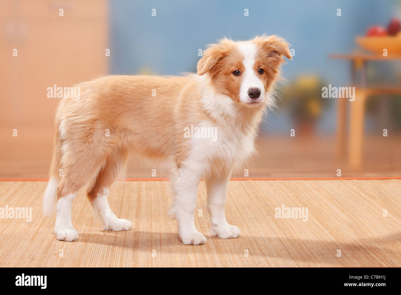 Border Collie Puppy 14 Weeks Australian Red White Side Stock