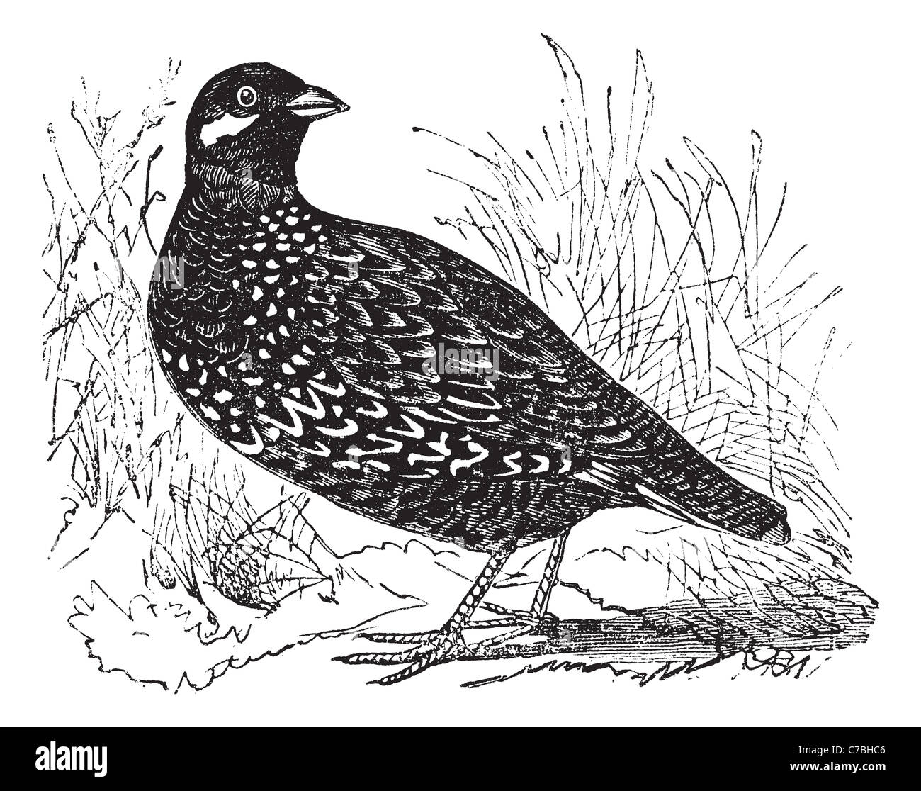 Black Francolin also known as Francolinus francolinus, gamebird, vintage engraved illustration of Black Francolin. - Stock Image