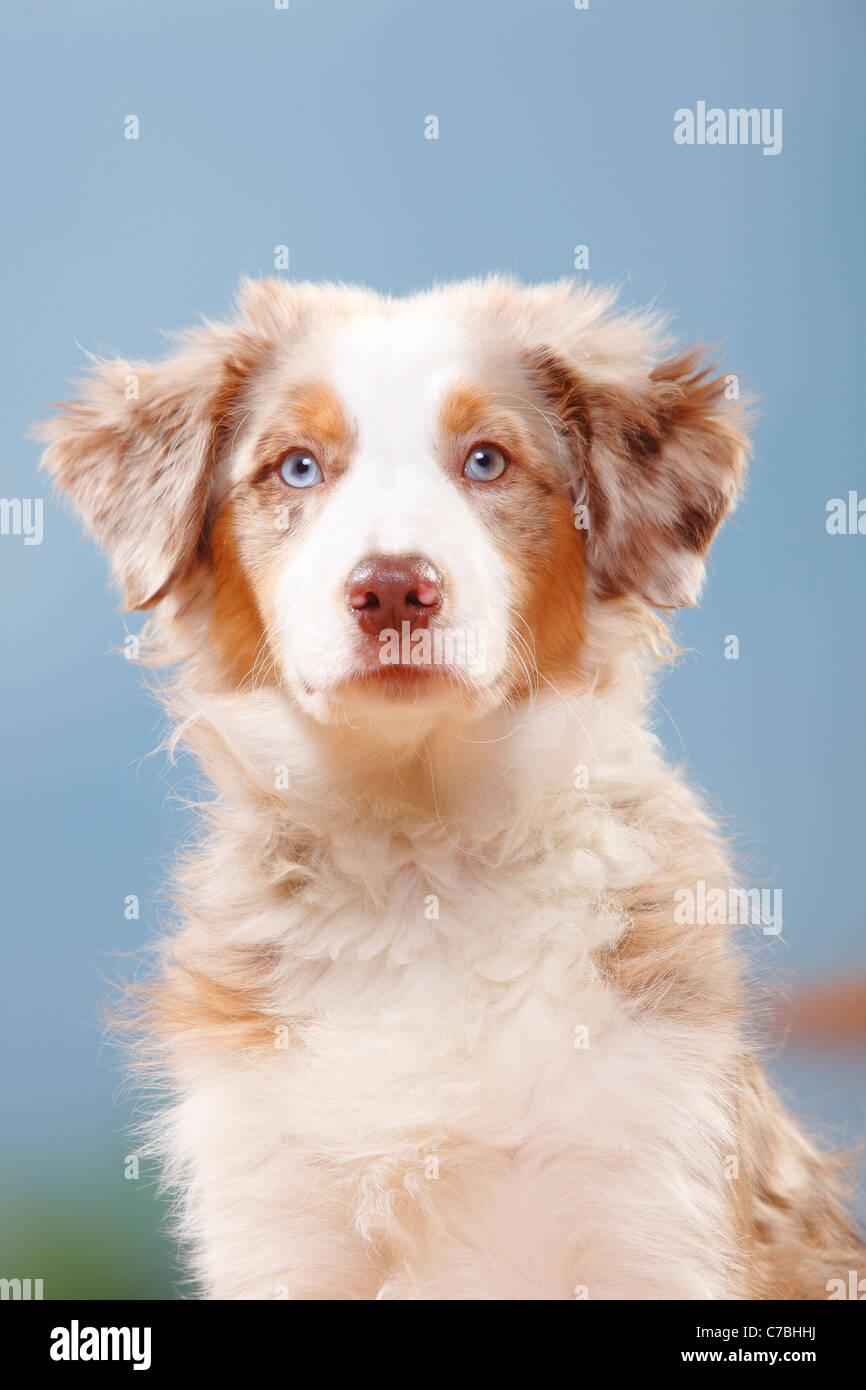 Australian Shepherd, puppy, red-merle, 19 weeks Stock Photo
