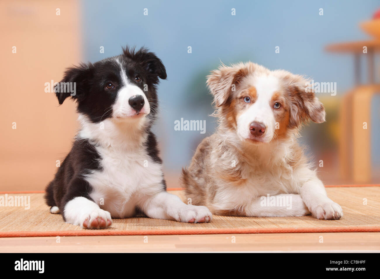 Australian Shepherd Puppy Red Merle 19 Weeks And Border Collie Stock Photo Alamy