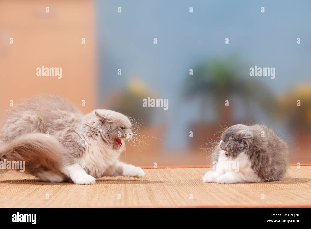 Britisch Longhair, cat and kitten, 4 months / Highlander, Lowlander, Britanica - Stock Image
