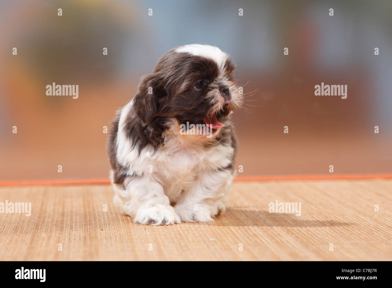 Shih Tzu Puppy 6 Weeks Stock Photo 38979131 Alamy
