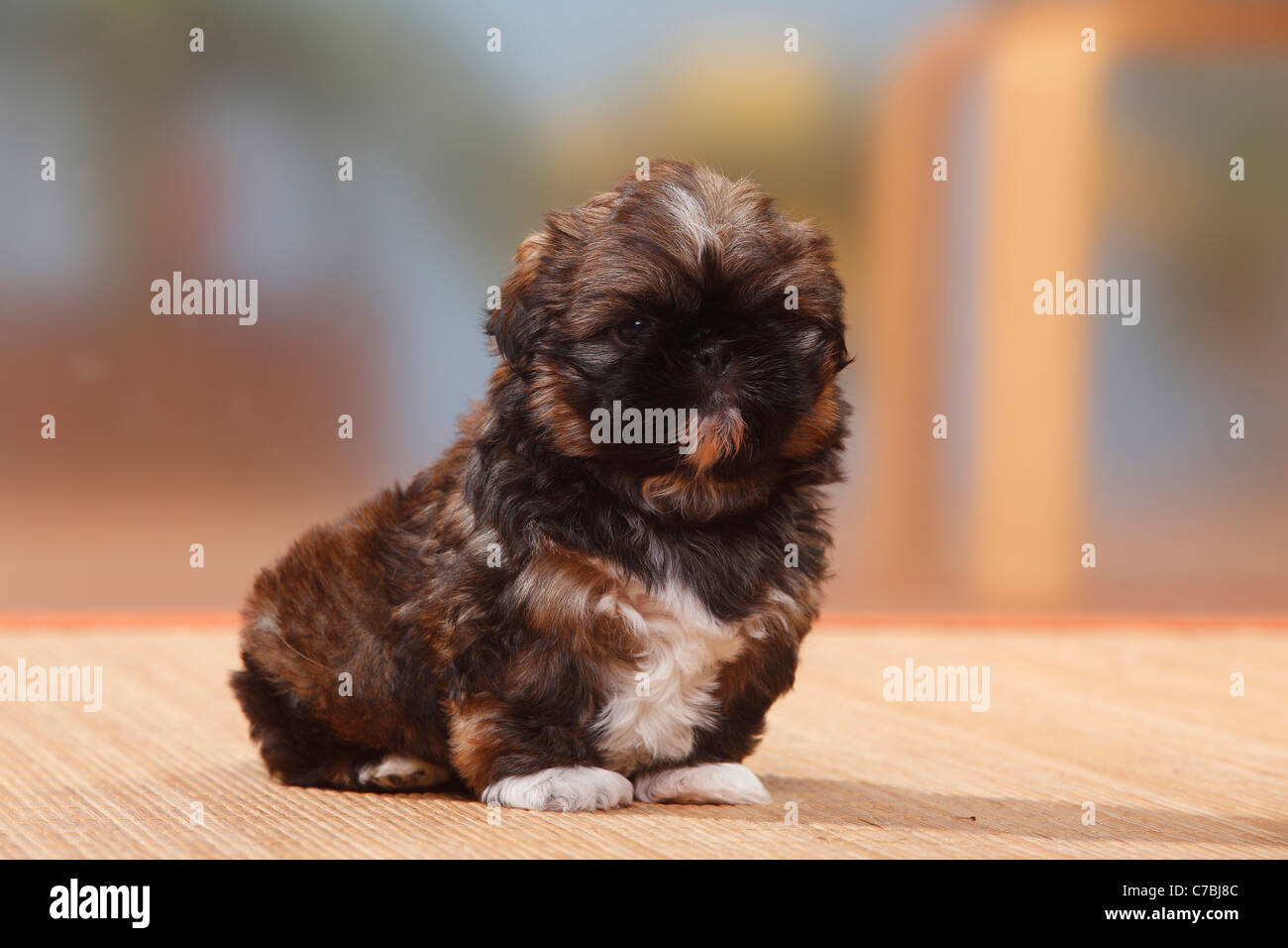 Shih Tzu Puppy 6 Weeks Stock Photo 38979148 Alamy